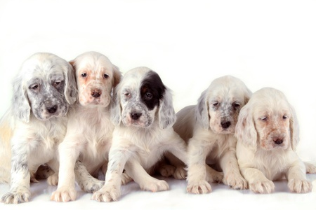 Five beautiful English Setter puppies isolated on white studio background.