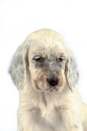 Portrait of a sleepy looking English Setter puppy isolated on white studio background. photo