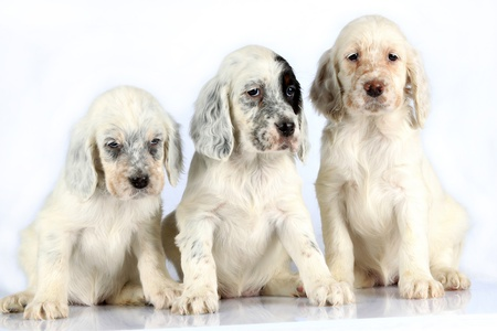 setter: Three sitting English Setter puppies isolated on white studio background.