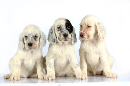 Three sitting English Setter puppies isolated on white studio background.