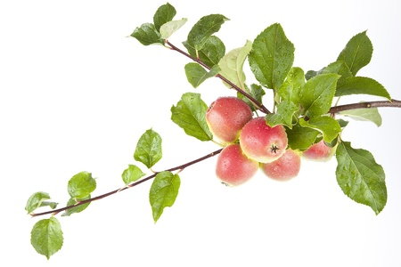 Twig with red ripe apple on white background photo