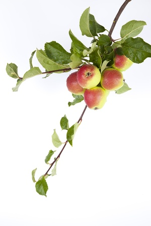 albero di mele: Ramoscello con mela rossa matura su sfondo bianco Archivio Fotografico
