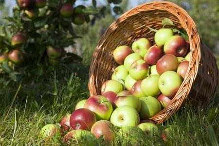 pommes: Pommes dans le panier  Banque d'images