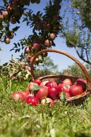 Frescas manzanas rojas en el huerto Foto de archivo