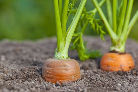 Carrots growing out of soil  photo