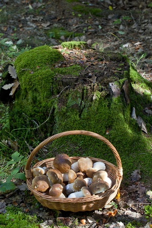 The basket of mushrooms in the forest
