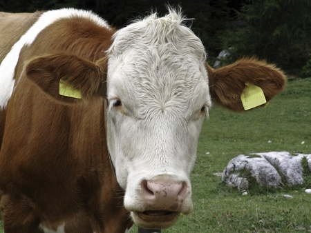 stained brown and white cow grazing in the meadows in the mountains  photo