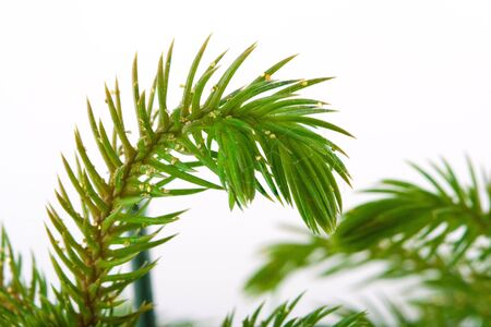 Shoot of a pine on a white background. photo