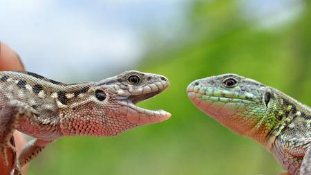 insectivores: Lizard
