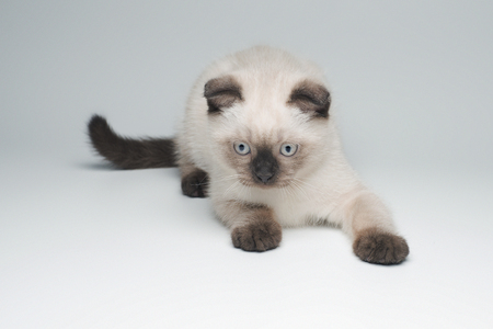Grey flap-eared kitten on light background playing Stock Photo