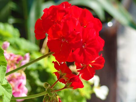 genus of flowering herbaceous plants of the family Sinyuhovye  Polemoniaceae   Translated from the Greek for  flame
