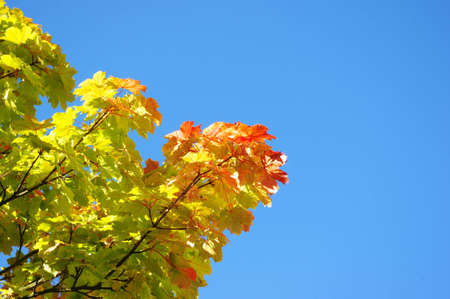 Beautiful autumn leaves against blue sky. Stock Photo - 8059961