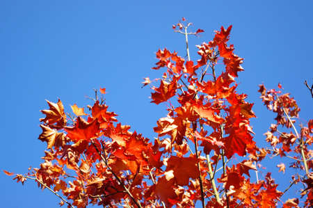 Beautiful red autumn leaves against blue sky photo