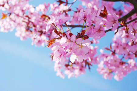 cherry blossom in japan: Pink cherry tree in full blossom. Great view. Stock Photo