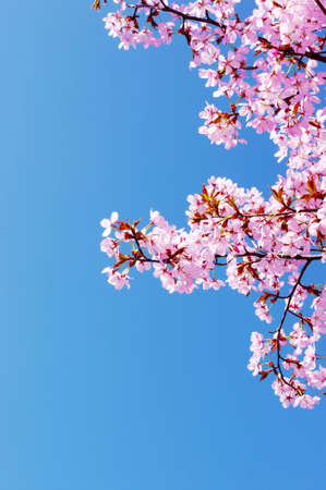 Pink cherry tree blossom and clear blue sky Stock Photo - 9311072