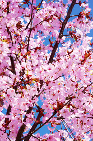 cherry tree: Pink cherry tree in full blossom Stock Photo