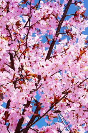 pink cherry: Pink cherry tree in full blossom Stock Photo