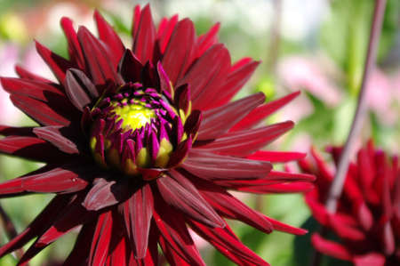 Beautiful dark red dahlia in the garden. Stock Photo - 10364047