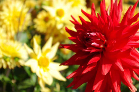 Red dahlia in front of some yellow dahlias. Stock Photo - 10364046
