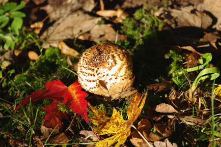 inedible: Freckled Dapperling (Lepiota aspera) and colorful leaves.