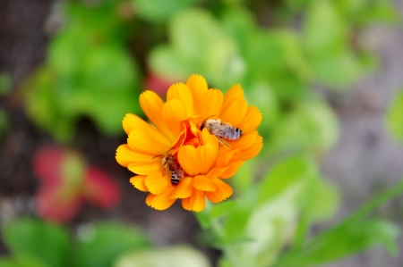garden marigold: Garden Marigold  Calendula officinalis  with two bees
