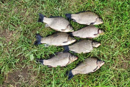 The seven crucian carp (Carassius carassius) lying on the grass Stock Photo - 7134757