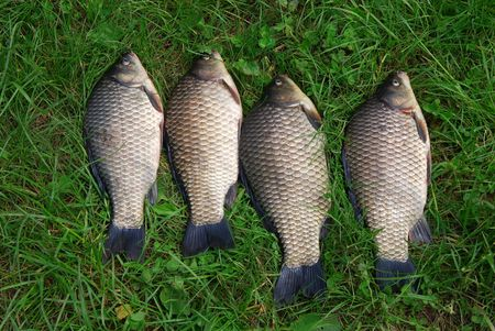 The four crucian carp (Carassius carassius) lying on the grass Stock Photo - 7161915