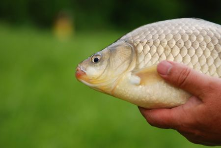 Large crucian in hand of the fisherman. The Crucian Carp (Carassius carassius)  Stock Photo