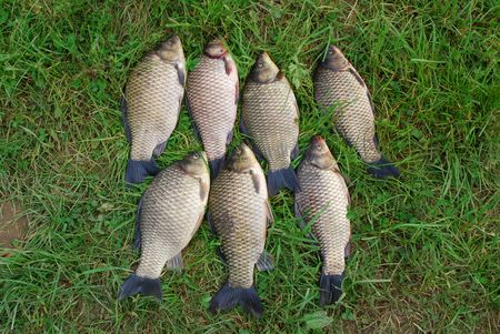 The seven crucian carp (Carassius carassius) lying on the grass Stock Photo - 7368154