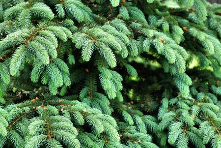 Background of pine branches with bright green needles Stock Photo - 7367991