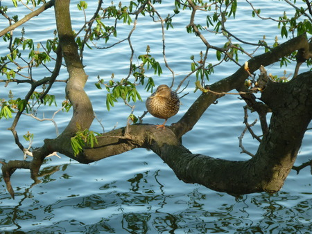 Mallard balances on a branch