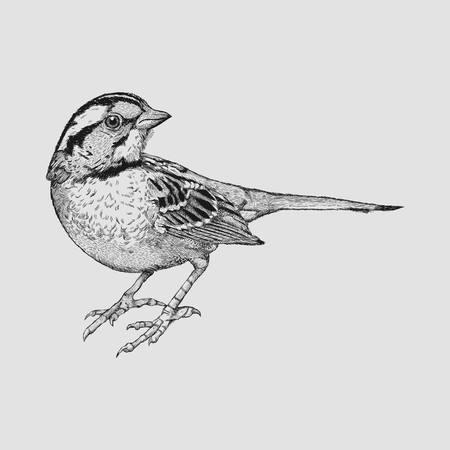 Little Sparrow Illusztráció