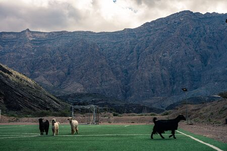 Goats running on a soccer field between mountains in Jebel Shams, Oman