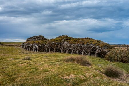 Beautiful panoramic view of trees curiously shaped by the wind taken on a cloudy winter day in Waipapa point, New Zealand