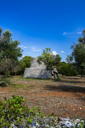 ancient olive trees of Salento, Italy, Puglia