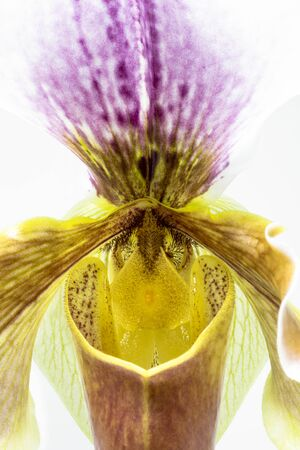 The beautiful flower of Paphiopedilum orchid, often called the Venus slipper. Macro photograph of a flower detail, isolated on white background. Magnification, enlargement, blow-up, close up.