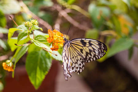 A beautiful black, white and yellow butterfly perched on a yellow flower, with large open wings. In the blurred background, green leaves and plants. The insect sucks the nectar of the flower.