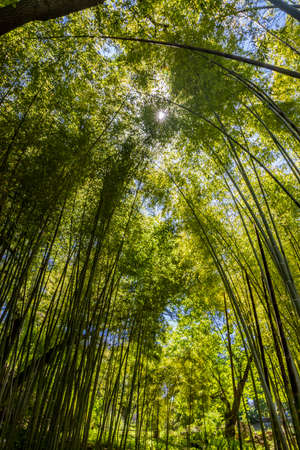 A small grove of bamboo trees, with its very high reeds that stretch towards the sky, covering the sun. Shade, coolness, relaxation, peace, silence, greenery, vegetation.