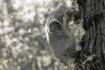 A horror, Halloween concept. A sheep skull hanging from a tree, with bokeh background