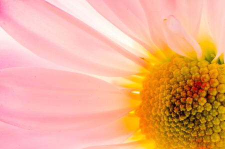 closeup of pink daisy with: backlit macro shot of pastel gerbera daisy flower filling the frame Stock Photo