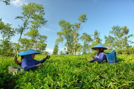 Couple female farmers harvesting tea leaves