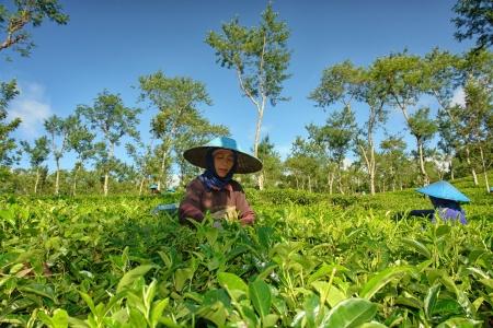 Female farmers harvesting tea leaves