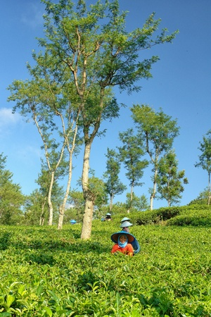 Female farmers harvesting tea leaves
