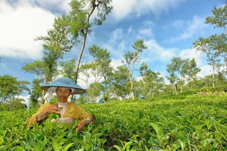 Female farmer harvesting tea leaves