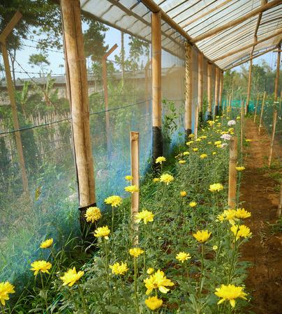 yellow blossom: Yellow blossom Chrysanthemum farm inside greenhouse. Taken at Malang Chrysanthemum farm, Malang, east Java, Indonesia