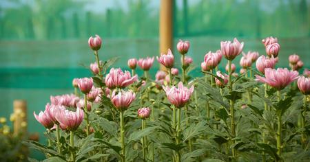 white blossom: Pink White blossom Chrysanthemum farm inside greenhouse.