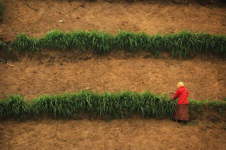 tengger: Woman in red dress harvesting on farm, taken at Bromo Tengger, East Java, Indonesia Stock Photo