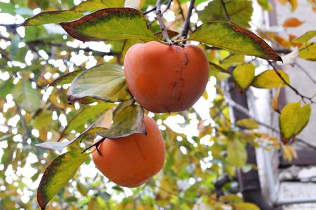 persimmon tree: ripe persimmon fruit on the tree Stock Photo