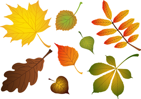 Vectors composite of various autumn leaves: birch, maple, oak, rowan, lime, chestnut, poplar, aspen