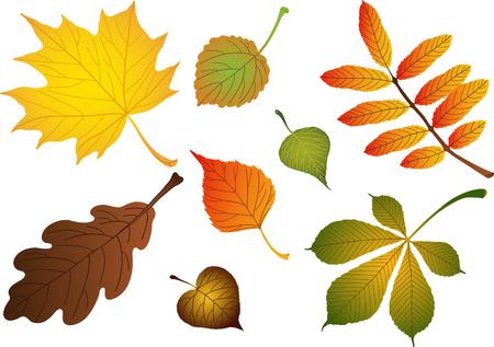 jarzębina: Vectors kompozytowych różnych liści jesienią: brzoza, klon, dąb, jarzębina, lipowy, kasztanowy, topola, osika Ilustracja